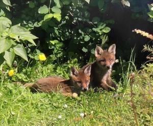 photo by Eoin Mac Lochlainn of urban fox